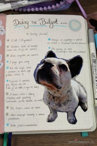 Daisy buldog francuski